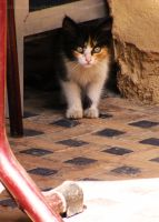 Marrakesh Kitten... by littleblackcloud91