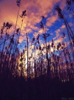 Reed and sunset 3 by LinaAoki