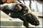 Tiger Toes by Migratory