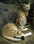 Sand Cats 9678 by Sooper-Deviant