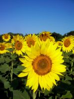 Simply Sunflower 1 by DoctorTonyStarkWho
