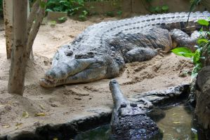 Crocodiles by steppelandstock