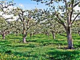Fruit Trees In Spring by Diesel722