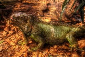 -Iguana Of Tropikariet by SL-PhotographySWE
