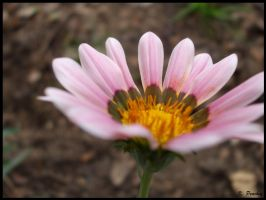 Pinkish Flower by p858snake