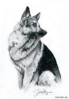 The German Shepherd by Lillidan86