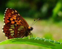 Butterfly by AnaDeviant