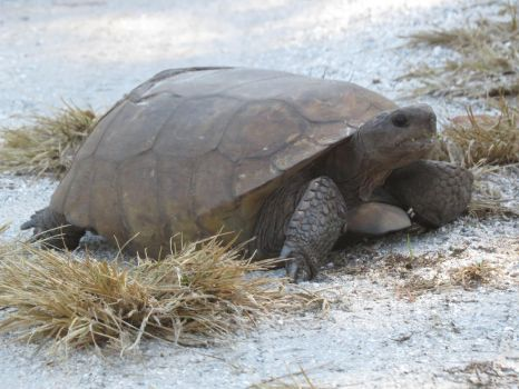 Gopher Tortoise by Malidicus