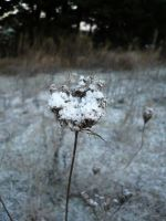 Frost on flower 1 by Cat-in-the-Stock