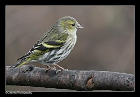 Female Siskin by CharmingPhotography