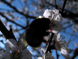 Spring '09, fluffy bee by LuciaLacrimabundus