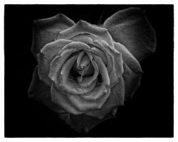The Rose by labba1