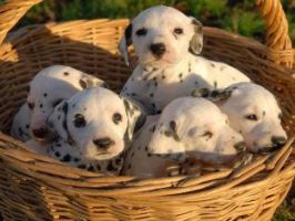 Babies Dalmatians by LoliiTD