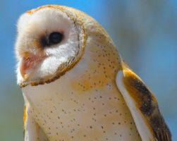 Barn Owl Side Profile by WilliamJCovello