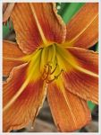 Tiger Lily by barefootphotos