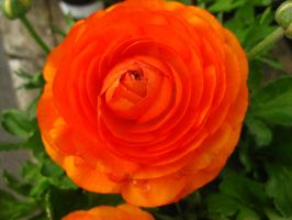 Orange Flower by Danika-Stock