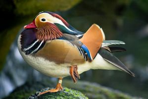 Mandarin Duck by ribbonworm