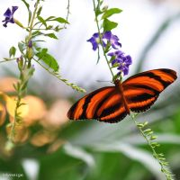 Papillon en Orange sur Fleur I by hyneige