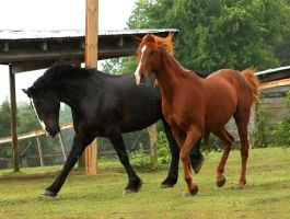 black draft and chestnut arab by venomxbaby