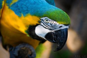 Macaw by Arkus83