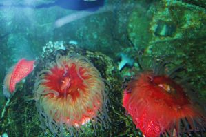 Stock 102 - Sea Anemone by pink-stock