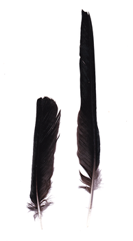 Red-billed chough feathers by TichodromaMuraria