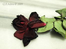 Dead Rose by Gin-ny