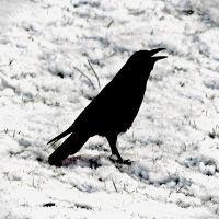 Blackbird: ...singing... by Coigach