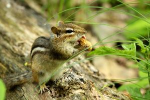Chipmunk stuffs his face. by sweatangel