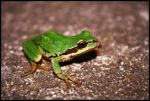 Frog by Gilles10