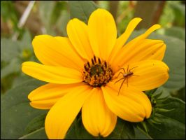 small spider beautifull flower by alamic-marius
