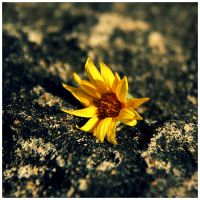 Little Yellow Flower by babylon6