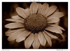 Sepia Flower 2127 by yellowcaseartist
