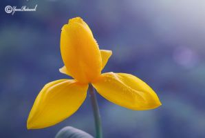 Tulip by philatmeartwork