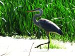 Great Blue Heron II by AppleBlossomGirl