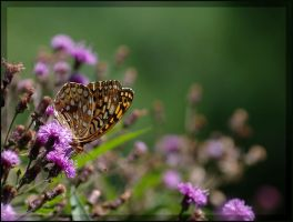 Great Spangled on Ironweed by barcon53