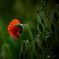 First flower... by ildiko-neer