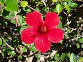 Hibisco rojo by ToniTeror