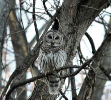 Barred Owl 2 by MistressVampy