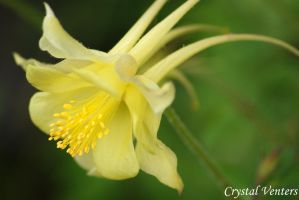 Yellow Columbine by poetcrystaldawn