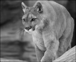 Cougar Photo Shoot by SilkenWinds