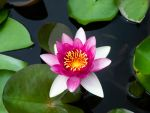 Water lily by Ernie-e