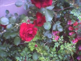 Pretty Red Roses by KnK-stock