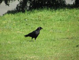 Crow On The Grass by Xario1