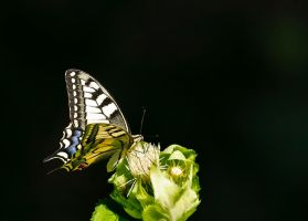 Butterfly by lica20