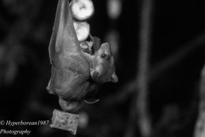 Egyptian Fruit Bat by Hyperborean1987