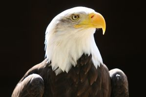 Bald Eagle by Silver2495