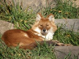 Dhole Chilling by Fictionary
