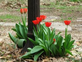 Lamp post and tulips by barn9
