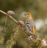 Pine Grosbeak female 2 by Les-Piccolo